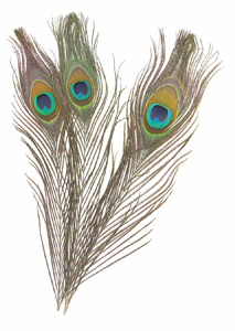 Peacock Feathers, 12 Pk